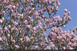 magnolia  Heaven Scent  Magnolia  Heaven Scent