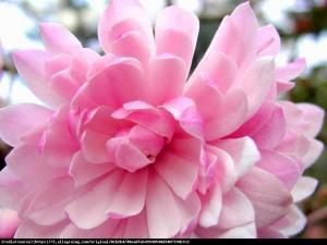 magnolia gwiaździsta  Rosea  Magnolia stellata  Rosea