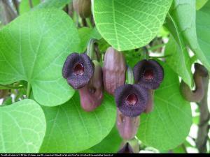 kokornak mandżurski Aristolochia manshuriensis