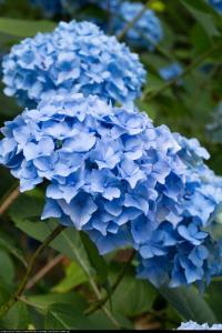Hortensja ogrodowa Baby Blue Hydrangea macrophylla Baby Blue