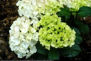 Hortensja ogrodowa  Bianco  Hydrangea macrophylla  Bianco