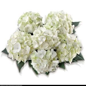 Hortensja ogrodowa Vanilla Sky hydrangea macrophylla vanilla sky...