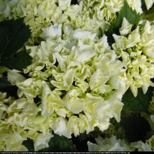Hortensja ogrodowa Clarissa Hydrangea macrophylla  Clarissa