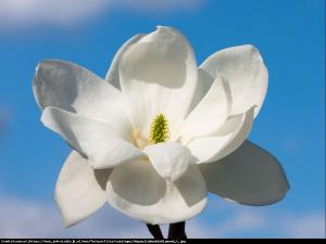 Magnolia  Double Diamond  Magnolia denudata  Double Diamond ...