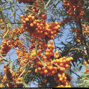 rokitnik pospolity  Leikora  Hippophae rhamnoides  Leikora