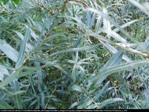 rokitnik pospolity  Pollmix  Hippophae rhamnoides  Pollmix