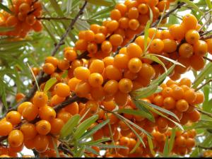 rokitnik samopylny FRIESDORFER ORANGE ... Hippophae rhamnoides FRIESDORFER ORANGE...