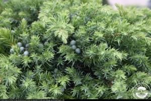 jałowiec nadbrzeżny  Schlager  Juniperus conferta  Schlager