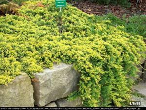 Jałowiec płożący Golden Carpet Juniperus horizontalis Golden Carpet...