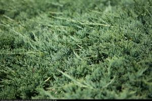 jałowiec płożący  Wiltonii  Juniperus horizontalis  Wiltonii ...