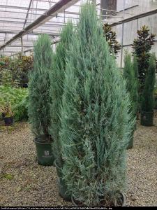 jałowiec skalny  Blue Arrow  Juniperus scopulorum  Blue Arrow ...