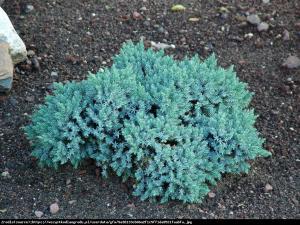 jałowiec łuskowaty  Blue Carpet  Juniperus squamata  Blue Carpet