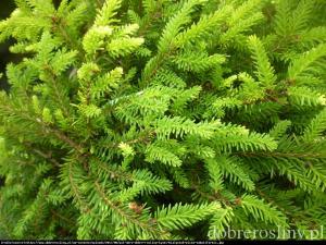 świerk pospolity  Tabuliformis Picea abies  Tabuliformis
