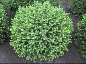 świerk serbski 'Karel' Picea omorika  Karel