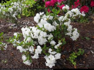 Azalia japońska Schneeperle   Azalea japonica Schneeperle
