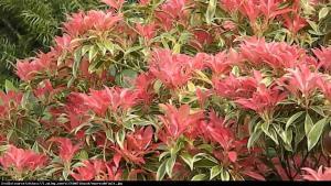 Pieris japoński Variegata Pieris japonica Variegata