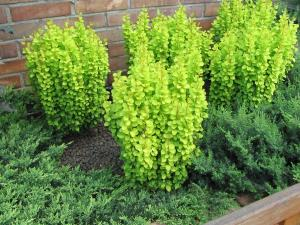 Berberys Thunberga Golden Tower BERBERIS THUNBERGII GOLDEN TOWER ...