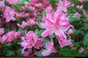 Azalia japońska Rododendron