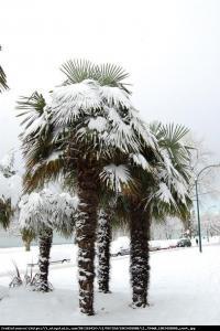Szorstkowiec Fortunego Palma mrozoodporna... Trachycarpus Fortunei