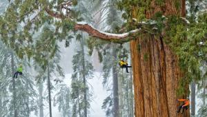 Mamutowiec olbrzymi - sekwoja olbrzymia... Sequoiadendron giganteum