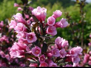 krzewuszka cudowna Nana Purpurea  Weigela florida Nana Purpurea