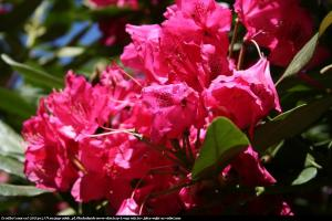 Różanecznik Nova Zembla Rododendron Nova Zembla