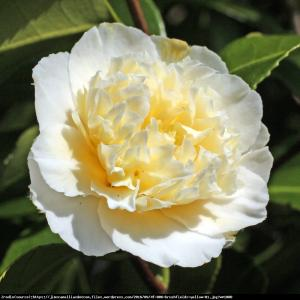kamelia japonska Brushfields Yellow ... Camellia japonica  Brushfields Yellow ...