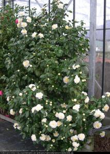 kamelia japonska Brushfields Yellow ... Camellia japonica  Brushfields Yellow ...
