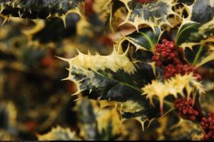 Ostrokrzew kolczasty Ferox Argentea ... Ilex aquifolium Ferox Argentea