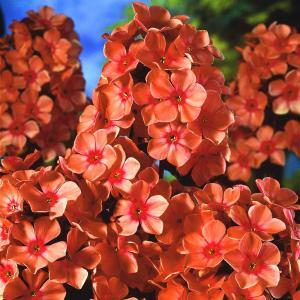 Płomyk wiechowaty    Orange Perfection ... Phlox paniculata   Orange Perfection ...