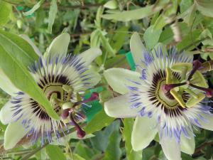 Męczennica błękitna Passiflora caerulea