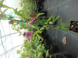Męczennica Victoria  Passiflora Victoria