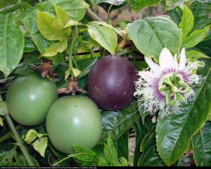 Męczennica jadalna MARAKUJA Passiflora edulis