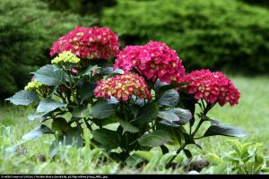 Hortensja ogrodowa Royal Red Hydrangea macrophylla Royal Red