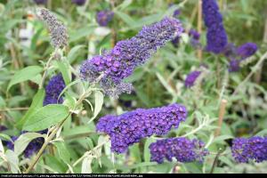 budleja Dawida Empire Blue Buddleja davidii Empire Blue
