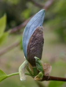 magnolia drzewiasta Blue Opal  Magnolia acuminata  Blue Opal