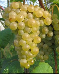 Winorośl winogrono Seyval blanc Vitis Seyval blanc