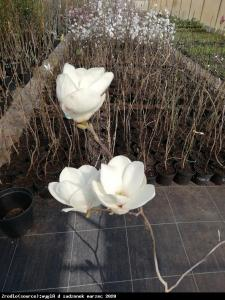 Magnolia Soulangea Lennei Alba Duża... Magnolia soulangeana Lennei Alba