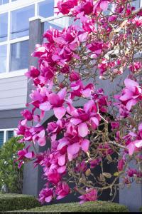 Magnolia Vulcan czerwona Magnolia Vulcan