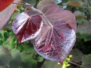 Judaszowiec kanadyjski 'Ruby Falls'... Cercis canadensis 'Ruby Falls'