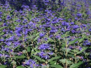 Barbula klandonska heavenly blue caryopteris clandonensis haevenly blue...