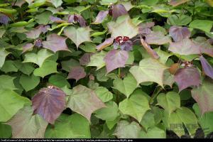 Surmia pośrednia purpurea catalpa erubescens purpurea
