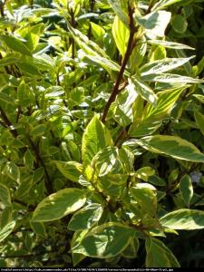 Dereń biały gouchaultii cornus alba gouchaultii