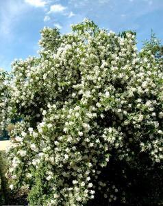 jaśminowiec dame blanche philadelphus dame blanche