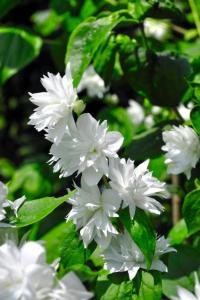 Jaśminowiec minnesota snowflake philadelphus minnesota snowflake