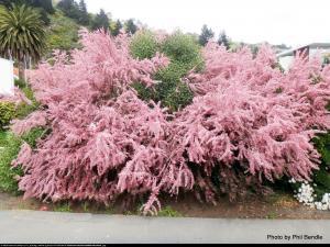 tamaryszek piecioprecikowy pink cascade... Tamarix ramosissima Pink Cascade
