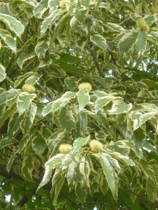 kasztan jadalny variegata Castanea sativa Variegata