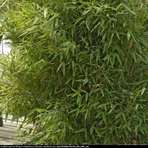 Bambus Jumbo Fargesia Murielae Jumbo