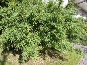 Bambus Simba Fargesia Murielae Simba