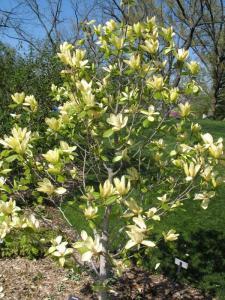 magnolia duża Sunsation Magnolia Sunsation